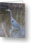 Merced County Greeting Cards - Great Blue Heron Merced County CA Greeting Card by Troy Montemayor