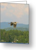 Wildlife Photos Greeting Cards - Great Blue Heron over Lake Umbagog Greeting Card by Neal  Eslinger