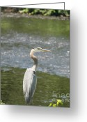 Birds Greeting Cards - Great Blue Heron Portrait Greeting Card by Neal  Eslinger