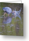 Decide Greeting Cards - Great Blue Heron striking at prey in a pond Greeting Card by Ed Book