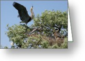 Fishers Greeting Cards - Great Blue Heron Young Birds Greeting Card by Crystal Garner