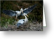 Courting Greeting Cards - Great Blue Herons Nesting Greeting Card by Sabrina L Ryan