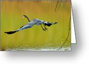 Crane Greeting Cards - Great Blue Takes Flight - third -t9537c Greeting Card by Paul Lyndon Phillips