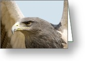 Buzzard Photo Greeting Cards - Great-chested Buzzard Eagle Greeting Card by Power And Syred