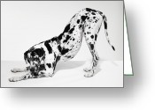 Color Bending Greeting Cards - Great Dane Bending Down Greeting Card by Michael Blann