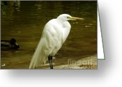 Great Egrets Greeting Cards - Great Egret 2 Greeting Card by Cheryl Young