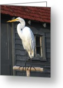 Great Egret Greeting Cards Greeting Cards - Great Egret 27 Greeting Card by Joyce StJames