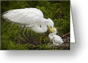 Susan Greeting Cards - Great Egret and Chick Greeting Card by Susan Candelario