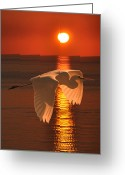 Ellenisworkshop Greeting Cards - Great Egret at sunset Greeting Card by Eric Kempson