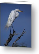 Great Egrets Greeting Cards - Great Egret, Casmerodius Albus, Perched Greeting Card by John Cancalosi