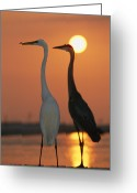 Great Egrets Greeting Cards - Great Egret, Egretta Alba, In Front Greeting Card by Roy Toft