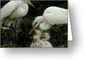 Texas.photo Photo Greeting Cards - Great Egret Family 2 Greeting Card by Bob Christopher