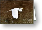 Audubon Greeting Cards - Great Egret in Flight Greeting Card by Al Powell Photography USA