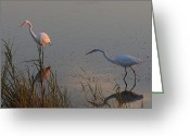 Great Egrets Greeting Cards - Great Egrets Hunting For Fish Greeting Card by George Grall