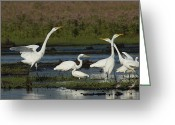 Great Egrets Greeting Cards - Great Egrets Square Off Over Territory Greeting Card by George Grall