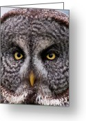 Kamloops Greeting Cards - Great Gray Owl Greeting Card by Chad Graham