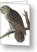 Great Painting Greeting Cards - Great Gray Owl Greeting Card by John James Audubon