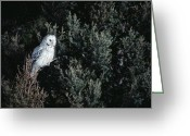 Morph Photo Greeting Cards - Great Gray Owl Strix Nebulosa In Blonde Greeting Card by Michael Quinton