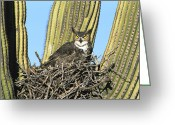 Owl Photography Greeting Cards - Great Horned Owl Bubo Virginianus Greeting Card by Tom Vezo
