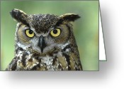 Owl Photography Greeting Cards - Great Horned Owl Bubo Virginianus Greeting Card by Zssd