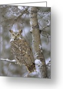 Morph Photo Greeting Cards - Great Horned Owl In Its Pale Form Greeting Card by Tim Fitzharris