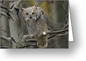 Morph Photo Greeting Cards - Great Horned Owl Pale Form Kootenays Greeting Card by Tim Fitzharris