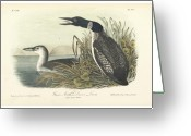 Litho Greeting Cards - Great North Diver Loon Greeting Card by John James Audubon