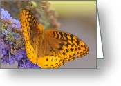 Spangled Greeting Cards - Great Spangled Fritillary Butterfly Greeting Card by Paul Ward