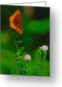 Spangled Greeting Cards - Great Spangled Fritillary Greeting Card by Tony Beck