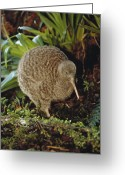 Threatened Species Greeting Cards - Great Spotted Kiwi Apteryx Haastii Male Greeting Card by Tui De Roy