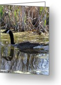 Goose Drawings Greeting Cards - Great Swamp Goose  Greeting Card by Diane E Berry