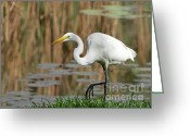White River Greeting Cards - Great White Egret by the River Greeting Card by Sabrina L Ryan