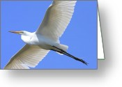 Migration Greeting Cards - Great White Egret In Flight . 40D6850 Greeting Card by Wingsdomain Art and Photography