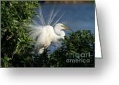 Courting Greeting Cards - Great White Egret in the Trees Greeting Card by Sabrina L Ryan