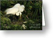 Courting Greeting Cards - Great White Egrets Nesting Greeting Card by Sabrina L Ryan