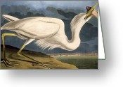 Drawing Of Bird Greeting Cards - Great White Heron Greeting Card by John James Audubon