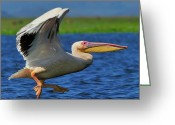 Tony Greeting Cards - Great White Pelican Greeting Card by Tony Beck