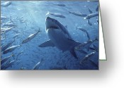 Sp Greeting Cards - Great White Shark Carcharodon Greeting Card by Mike Parry
