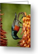 African Wildlife Greeting Cards - Greater Double Collared Sunbird Feeding Greeting Card by Peter Chadwick