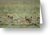 Tail Feather Greeting Cards - Greater Prairie-chickens Display Greeting Card by Joel Sartore