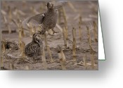 Cornfield Greeting Cards - Greater Prairie Chickens In A Corn Greeting Card by Joel Sartore