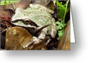 Brown Frog Greeting Cards - Green and Brown Frog Greeting Card by Cindy Wright