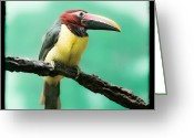 Exotic Bird Greeting Cards - Green Aracari Toucan Greeting Card by Gary Heller