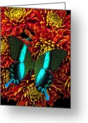 Chrysanthemum Greeting Cards - Green blue butterfly Greeting Card by Garry Gay