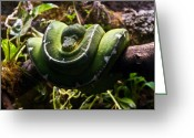 Pondering Greeting Cards - Green Boa Greeting Card by Douglas Barnett