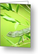 Green Day Greeting Cards - Green Chameleon In Mozambique Greeting Card by Alex Bramwell