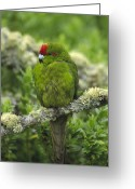 Amazon Parrot Greeting Cards - Green-cheeked Amazon Parrot Amazona Greeting Card by Konrad Wothe