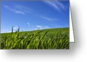Cornfield Greeting Cards - Green field of wheat Greeting Card by Bernard Jaubert