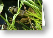 Colorado Creatures Greeting Cards - Green Frog Greeting Card by Crystal Garner
