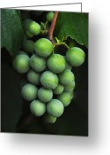 Grapes Greeting Cards - Green Grapes Greeting Card by Marion McCristall